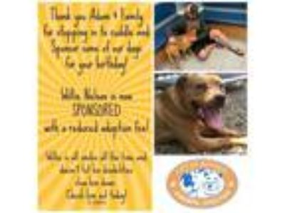 Adopt Willie a Pit Bull Terrier