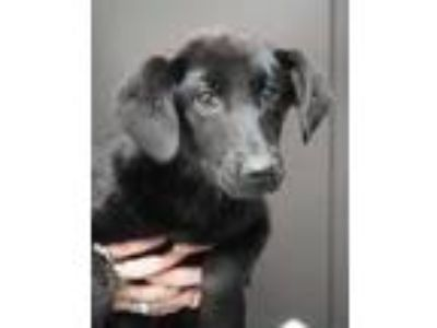 Adopt Braelynn a Black English Shepherd / Mixed dog in Bridgewater