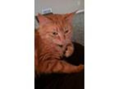 Adopt Adelaide a Orange or Red Domestic Longhair / Mixed cat in Farrell