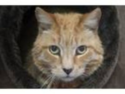 Adopt Axl Rose a Domestic Short Hair