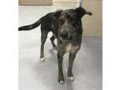 Adopt GUY a Catahoula Leopard Dog
