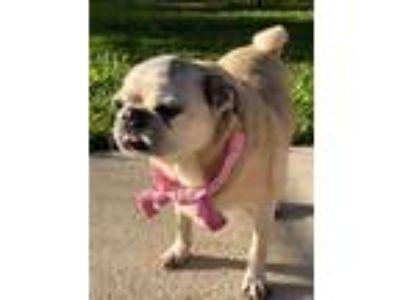 Adopt Starfire a Pug