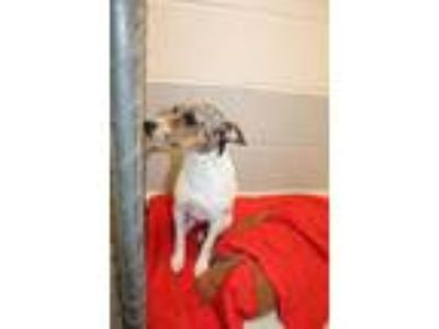 Adopt NELLA a White Jack Russell Terrier / Mixed dog in Statesville