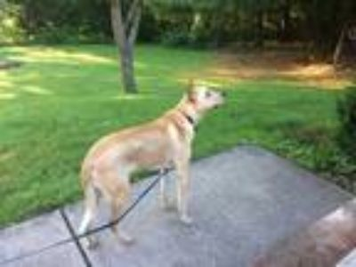 Adopt Tanner a Tan/Yellow/Fawn Labrador Retriever / Mixed dog in Rexford