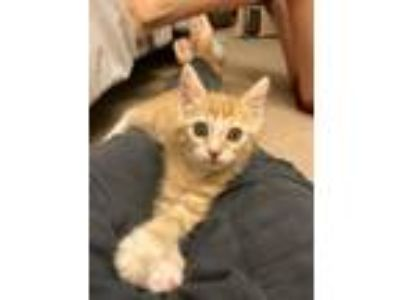 Adopt Jabba a Orange or Red Tabby Domestic Shorthair (short coat) cat in Oswego
