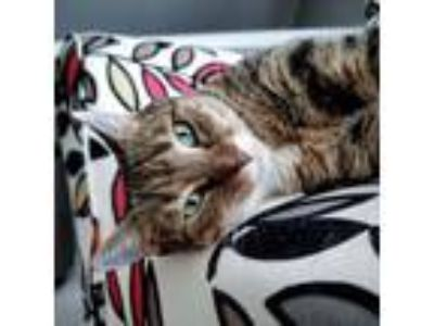 Adopt Lucille (video available) a Domestic Short Hair