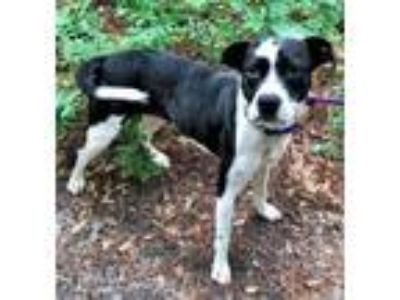 Adopt Lara a Hound (Unknown Type) / Boxer / Mixed dog in Canton, CT (25920446)
