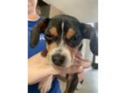 Adopt Jack**Local June 9th** a Beagle