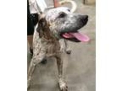 Adopt Jorge a White - with Brown or Chocolate German Shorthaired Pointer / Mixed