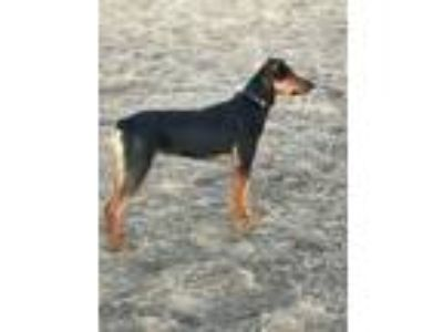 Adopt Parker a Doberman Pinscher, German Shepherd Dog