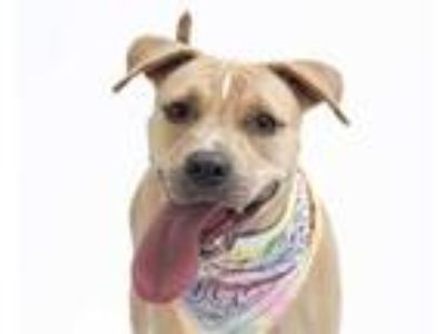 Adopt a Tan/Yellow/Fawn American Pit Bull Terrier / Mixed dog in Orlando