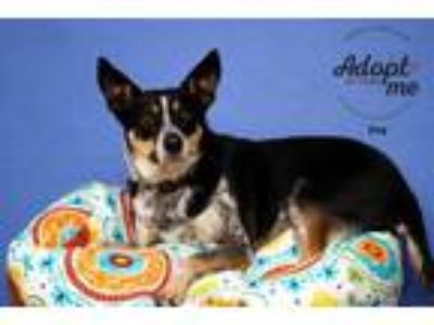 Adopt Ivy a Australian Kelpie / Jack Russell Terrier / Mixed dog in Salt Lake