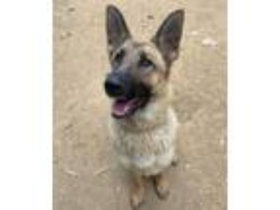 Adopt Canela a German Shepherd Dog, Mixed Breed