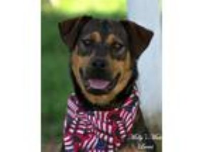 Adopt Lucas a Shepherd (Unknown Type) / Rottweiler dog in Dixon, KY (25560186)