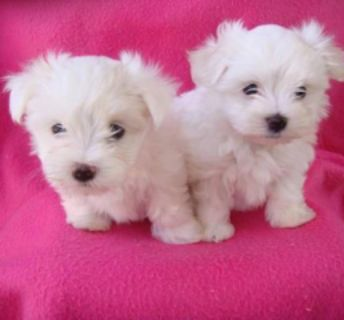 Gorgeous Teacup Maltese Puppies