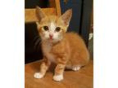 Adopt Simon a Orange or Red (Mostly) Domestic Shorthair (short coat) cat in