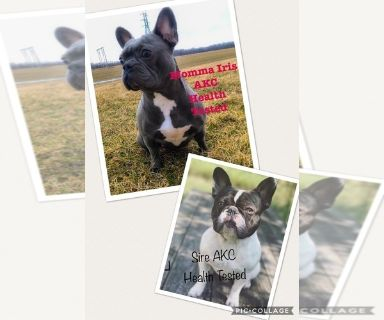 French Bulldog PUPPY FOR SALE ADN-128689 - Gorgeous pups from AKC health Tested parents