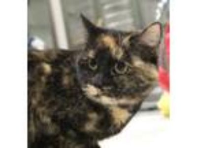 Adopt Patsy a All Black Domestic Shorthair / Domestic Shorthair / Mixed cat in