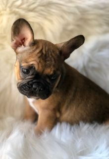 French Bulldog PUPPY FOR SALE ADN-99612 - French Bulldog Red Black Mask