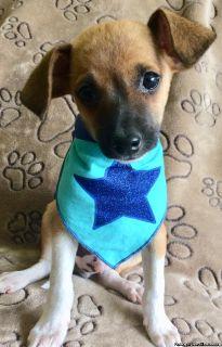 Jack Russell/Rat Terrier mix puppy