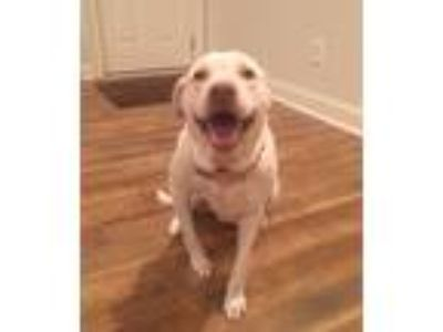 Adopt Danyelle a Tan/Yellow/Fawn Pit Bull Terrier / Labrador Retriever / Mixed