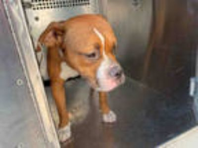 Adopt DRIFTER* a Brown/Chocolate - with White Boxer / American Pit Bull Terrier