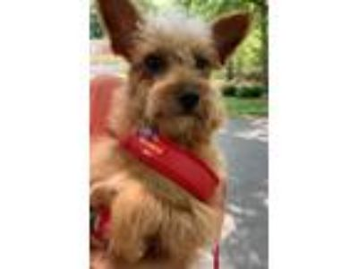 Adopt Mama Llama a Yorkshire Terrier, Poodle