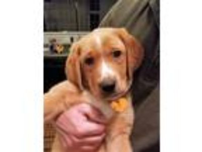 Adopt Forest a Red/Golden/Orange/Chestnut - with White Labrador Retriever /