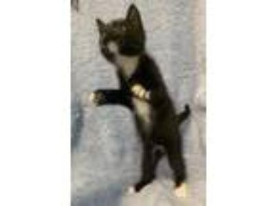 Adopt Leonard a Domestic Short Hair