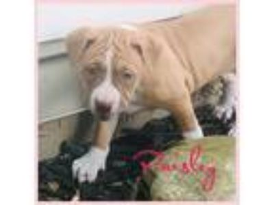 Adopt Paisley a Tan/Yellow/Fawn - with White Boxer / Mixed dog in Berkley