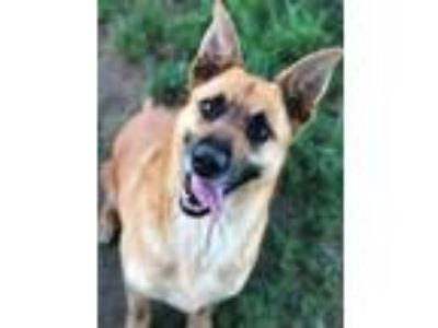 Adopt SASSY a Shepherd, Black Mouth Cur