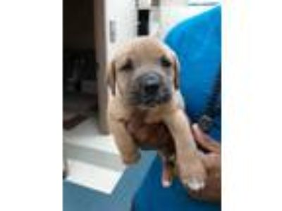 Adopt PUP 5 a Tan/Yellow/Fawn Labrador Retriever / Mixed dog in Mesquite