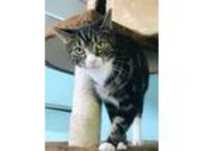 Adopt Belle a Domestic Shorthair / Mixed (short coat) cat in Ft.