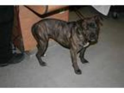Adopt CHARLOTTE a Brindle - with White American Pit Bull Terrier / Mixed dog in
