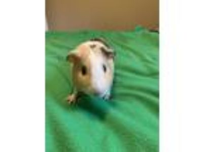 Adopt Oliver a Yellow Guinea Pig (short coat) small animal in Grand Rapids