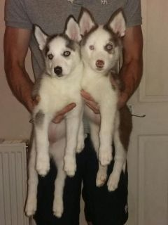 alaskan puppies for new homes