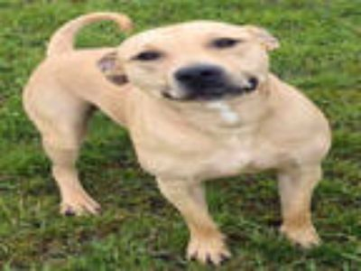 Adopt BOSCO a Tan/Yellow/Fawn Labrador Retriever / Mixed dog in Ogden