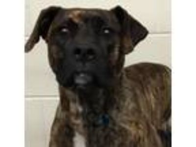 Adopt Charlotte a Brindle Pit Bull Terrier dog in Knoxville, TN (25640594)