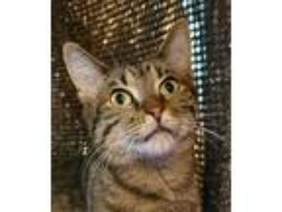 Adopt Minion a Domestic Short Hair