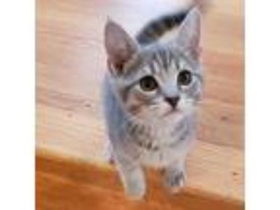 Adopt Clinger a Gray, Blue or Silver Tabby Domestic Shorthair (short coat) cat
