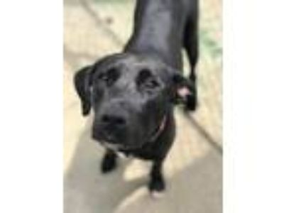 Adopt Luna a Labrador Retriever / Mixed dog in FREEPORT, FL (25251035)