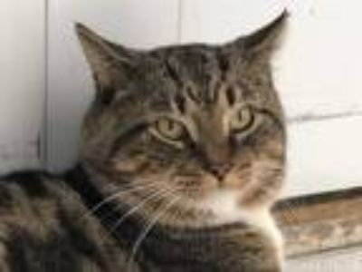 Adopt Peter a Brown Tabby Domestic Shorthair (short coat) cat in Victor