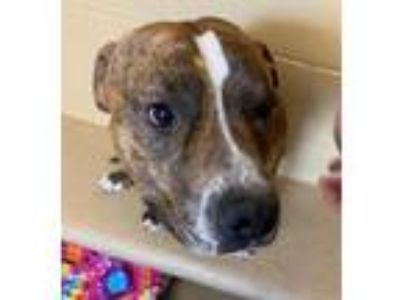 Adopt Pete a Staffordshire Bull Terrier
