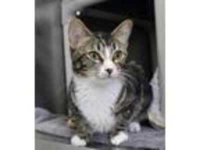 Adopt Saffy a Brown or Chocolate Domestic Shorthair / Domestic Shorthair / Mixed