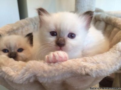 2 Seal Point Birman kittens