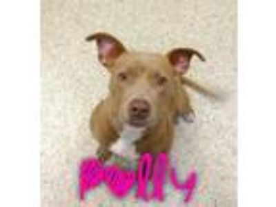 Adopt Polly a American Staffordshire Terrier