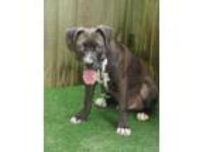 Adopt 41950033 a Black Retriever (Unknown Type) / Black Mouth Cur / Mixed dog in