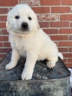 Anatolian Shepherd-Great Pyrenees Mix PUPPY FOR SALE ADN-113539 - Livestock guardianColorado Mountain dog pup