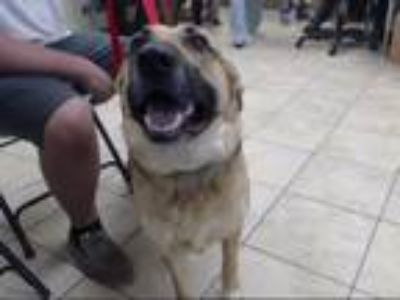 Adopt BAILEY a German Shepherd Dog, Australian Cattle Dog / Blue Heeler