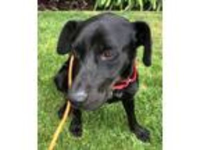 Adopt Ronald a Labrador Retriever